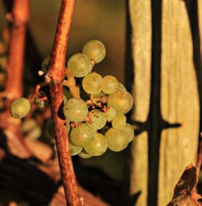 grapes-1804288_640